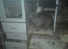 أرانب للبيع جوز ألماني وجوز أوكراني