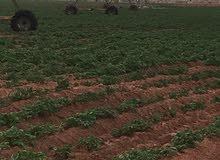 مطلوب مهندس زراعي متخصص في زراعة البطاطس ذو خبره