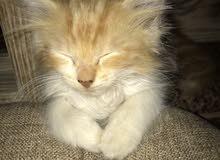قطط سيبيرية