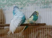 للبيع زوج طيور حب