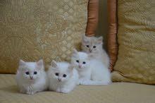 نوع القط  ( سيبيري ) siberian