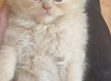 قط و قطة مستوى عالى هاف بكى للبيع