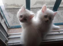 قطط شيرازي.............