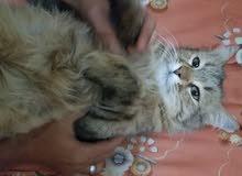قطط شيرازي هجين مصري