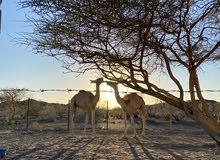 جعدان صوماليه للبيع