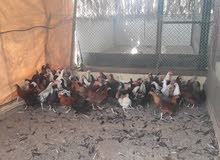 AL AIN FARM CHICKEN SALLING DUE TO EXCESS QUANTITY