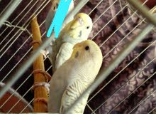 جوز عصافير كلير وينج
