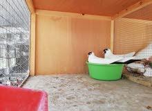 حمام بالون