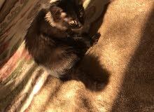 kitten (male, 3 months)