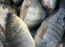 فراخ سمك مشط مستورد حي تايلندي 15قرش