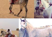 حصان كفو من اسطبلات الخالدية