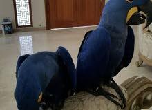 1yr Old Baby Hyacinth Macaws