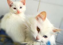 قطة ذات عيون ألوانها مختلفة من سلالة أنغورية