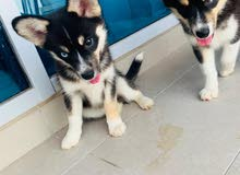 2 husky have 2 month