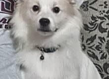 كلب لولو فرنسي للبيع