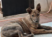 كلب دوتشي هولندي للبيع