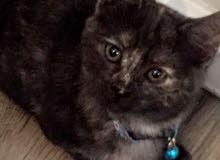 قطة شيرازيه مع كامل مستلزماتها للبيع ..