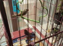 عصافير الجنة زوج