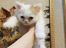 قطط، شيرازي، كتن، ذكر