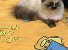 قطه هيمالايا للبيع