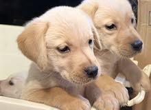 Labrador puppies 3
