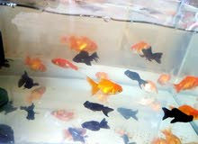 fancy fish for sale