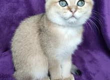 قطط  جولدن سكوتش فولد مستويات خارقة إنتاج اوكرانيا