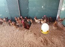 للبيع بيض فرنسي 30 حبه على 45 درهم