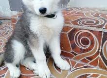 كلب هاسكي مالموت