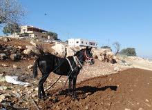 حصان للبيع مشاء الله