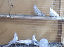طيور زينه (كوكتيل)