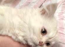 قطه شيرازيه امريكيه