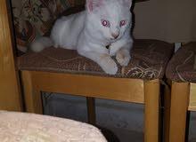 قطة للبيع انغورا بيورر للبيع