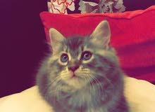 قطط شيرازي للبيع - الرياض