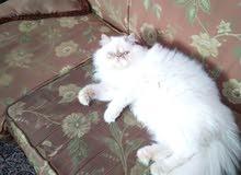 قط هملاية فريد من نوعه جميل جدا ولطيف جدا راءع عمر 6اشهر فقط للبيع لعدم التفرغ
