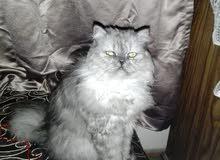 قطة شيرازي علي بيرشن سبق لها الزواج مره واحده