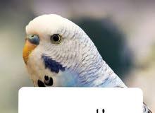 مطلووب طير حب اليف