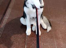 كلب هاسكي اصلي بيور للبيع