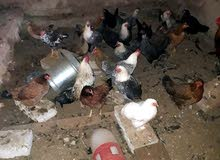 كوم دجاج من بلدي وبراهما وفيومي وكشن