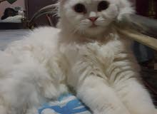 Perfect pet cat for pet lovers.Vaccinated, Friendly and Potty trained..