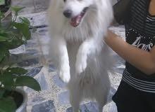 سلام وعليكم كلب  لولو فوكس الأصلي  بي جواز سفر ونضيف ولعوب  ودفتر جواز  عمره سنه