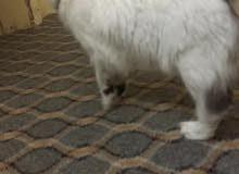 قطه انثى للتبني