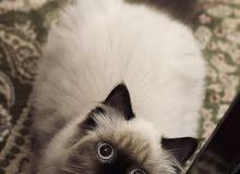 هيمالايا جميلة انثى بيور