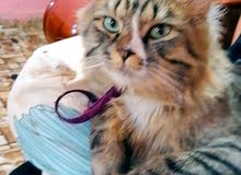 قط شيرازي لعوب للبيع