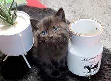 قط  شيرازي مدربة