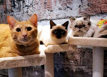 Three lovely cats for sales