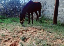حصان الله يبارك