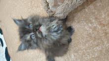قطه شيرازي مون فيس على السوم