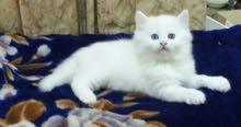 مطلوب قطه واحده بيضاء انثى