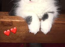 قطط شرازي